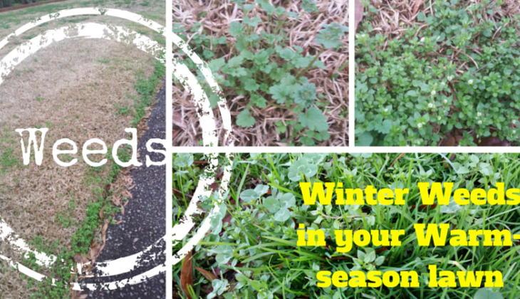 Winter Lawn Weeds in the Midlands