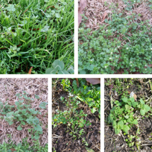 Winter Annual Lawn Weeds
