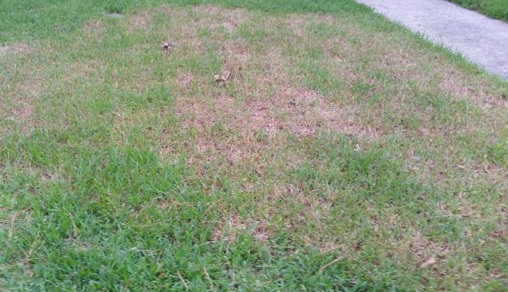 Chinch Bug damage - St. Augustine grass